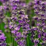 rp_lavendar-150x150.jpg